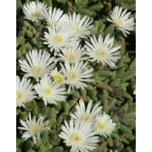 Delosperma 'Graaf Reinet' - Délvirág (fehér)