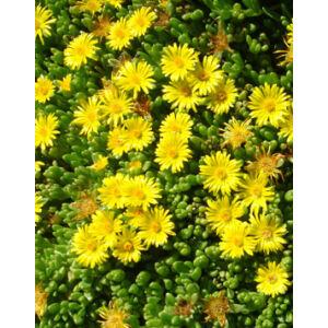 Delosperma nubigenum - Sárga délvirág