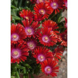 Delosperma 'Sundella Red' – Délvirág, kristályvirág