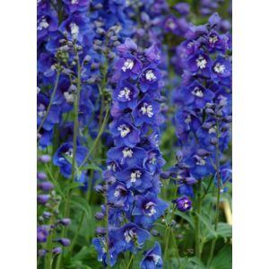 Delphinium 'Dasante Blue' - 'Delphinity Blue' – Kerti szarkaláb