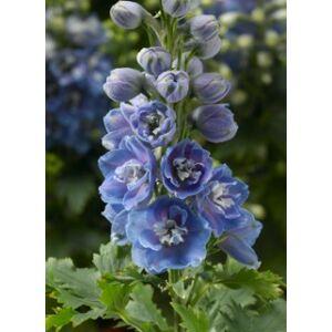 Delphinium 'Delphina Light Blue White Bee' – Nyúlánk szarkaláb