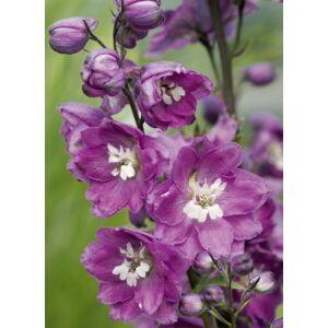 Delphinium 'Jupiter Pink' – Szarkaláb
