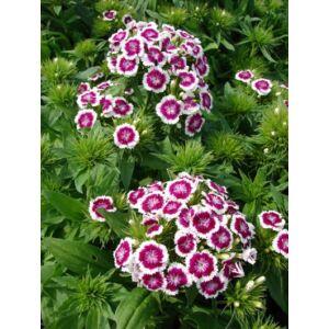 Dianthus barbatus 'Barbarini Purple Picotee' – Törökszegfű