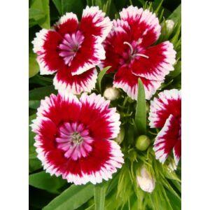 Dianthus barbatus 'Barbarini Red Picotee' – Törökszegfű