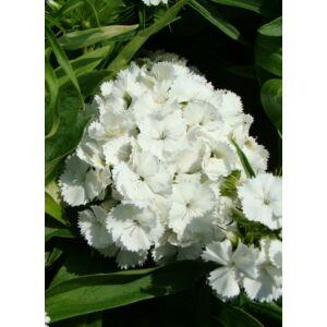 Dianthus barbatus 'Barbarini White' – Törökszegfű