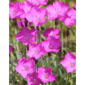 Dianthus gratianopolitanus 'Amarant' - Lilás rózsaszín pünkösdi szegfű