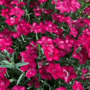 Dianthus gratianopolitanus 'Blauigel' - Lilás rózsaszín pünkösdi szegfű