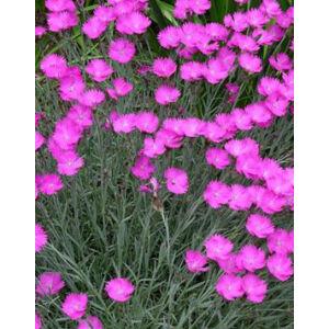 Dianthus gratianopolitanus 'Feuerhexe' - Pink pünkösdi szegfű