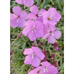 Dianthus gratianopolitanus 'La Bourboule' - Pünkösdi szegfű