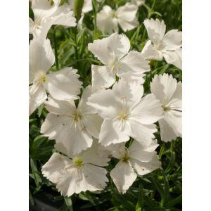 Dianthus gratianopolitanus 'La Bourboule White' - Pünkösdi szegfű