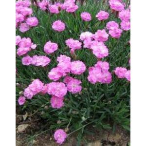 Dianthus gratianopolitanus 'Pink Jewel' – Pünkösdi szegfű