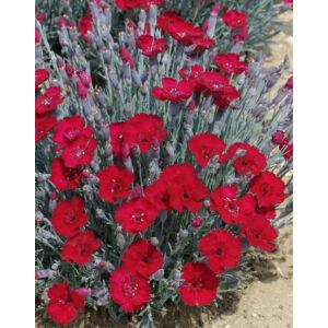 Dianthus gratianopolitanus 'Rubin' - Pünkösdi szegfű