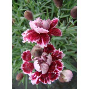 Dianthus gratianopolitanus 'Whatfield Gem' – Pünkösdi szegfű