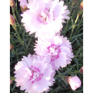 Dianthus plumarius 'Pike's Pink' - Tollas szegfû (rózsaszín, telt, illatos)