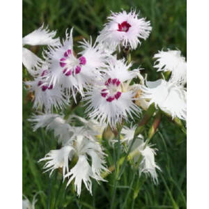 Dianthus spiculifolius – Tűlevelű szegfű