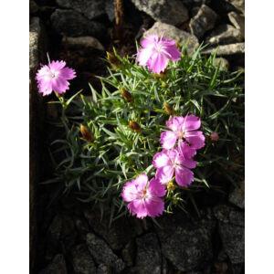 Dianthus webbianus – Törpe szegfű
