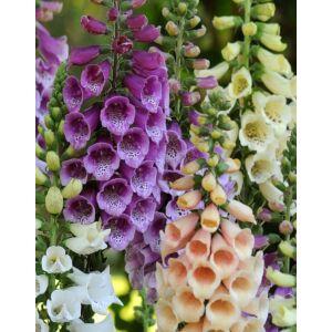 Digitalis purpurea 'Dalmatian Mix' – Pettyegetett gyűszűvirág (színkeverék)