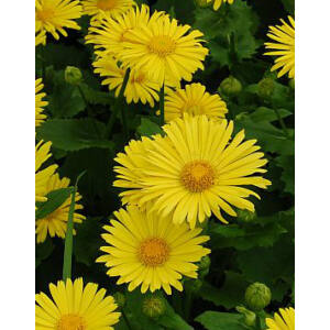 Doronicum orientale 'Little Leo' - Kaukázusi zergevirág (sárga)