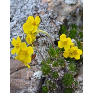 Draba bruniifolia – Sárga daravirág