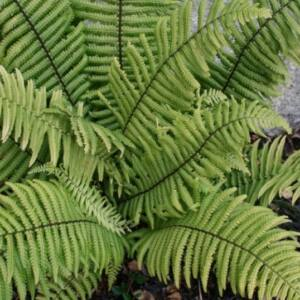 Dryopteris atrata – Borzas pajzsika