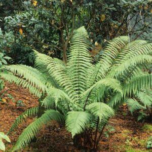 Dryopteris wallichiana – Alpesi fapáfrány