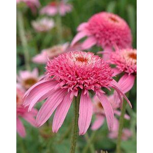 Echinacea purpurea 'Pink Double Delight'® – Bíbor kasvirág