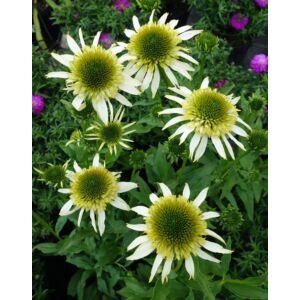Echinacea purpurea 'White Double Delight'® – Bíbor kasvirág