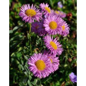 Erigeron hybride 'Rosa Juwel' – Küllőrojt