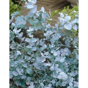 Eucalyptus gunnii - Tasmaniai havasi eukaliptusz
