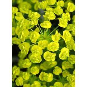 Euphorbia cyparissias 'Tall Boy' – Farkas kutyatej