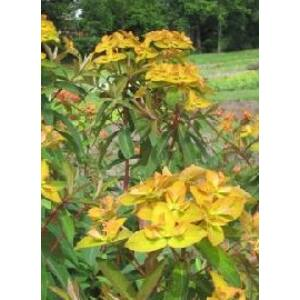 Euphorbia griffithii 'Beauty of Orange' – Rózsás kutyatej