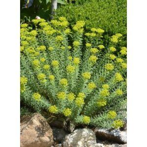 Euphorbia seguieriana subsp. niciciana - Pusztai kutyatej