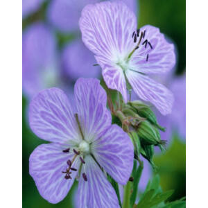 Geranium pratense 'Mrs. Kendall Clark' – Mezei gólyaorr