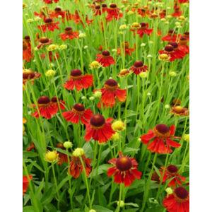 Helenium 'Moerheim Beauty' – Őszi napfényvirág
