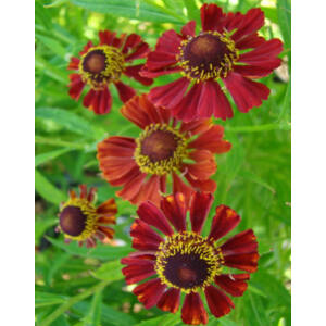 Helenium 'Rubinzwerg' – Napfényvirág