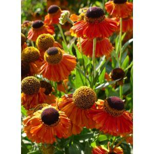 Helenium 'Sahin's Early Flowerer' - Őszi napfényvirág