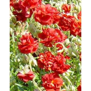 Helianthemum 'Amabile Plenum' ('Rubin') - Napvirág (sötétpiros, telt)