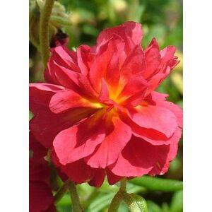 Helianthemum 'Cerise Queen' - Napvirág