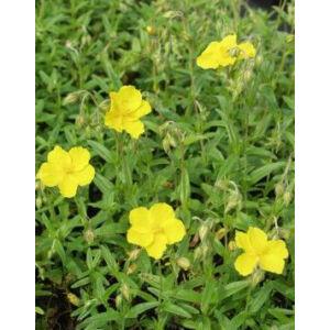 Helianthemum 'Golden Queen' - Napvirág (aranysárga virág, zöld lomb)