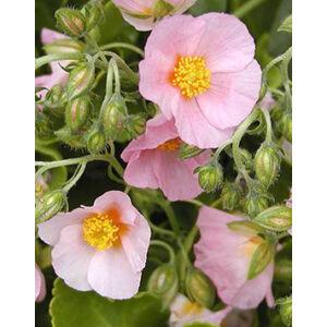 Helianthemum 'Lawrenson's Pink' - Napvirág (halvány rózsaszín virág sárga szemmel)