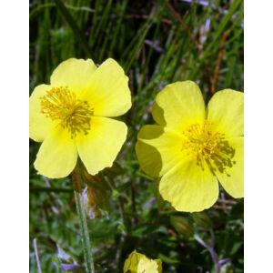 Helianthemum numullarium – Molyhos napvirág