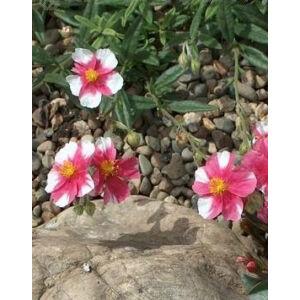 Helianthemum 'Raspberry Ripple' - Napvirág (sötétrózsaszín fehér folttal)