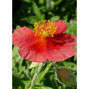 Helianthemum 'Red Dragon' - Napvirág