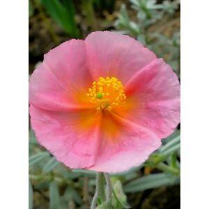 Helianthemum 'Rhodanthe Carneum' ('Wisley Pink') - Napvirág