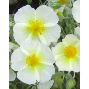 Helianthemum 'Snow Queen' ('The Bride') - Napvirág (fehér virág sárga szemmel)