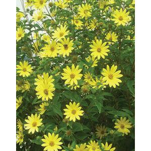 Helianthus 'Lemon Queen' - Napraforgó