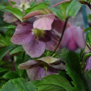 Helleborus oriantalis 'Ballard Hybrids' – Keleti hunyor