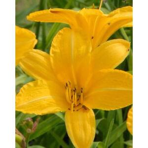 Hemerocallis 'Cartwheels' - Sásliliom (sárga)