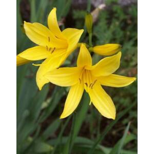 Hemerocallis flava – Sárga sásliliom