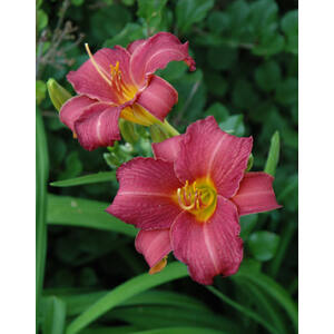 Hemerocallis 'Little Wine Cup' – Sásliliom